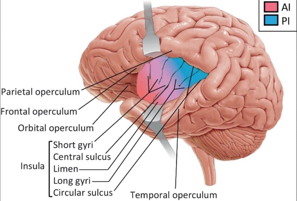 pembagian stuktur otak